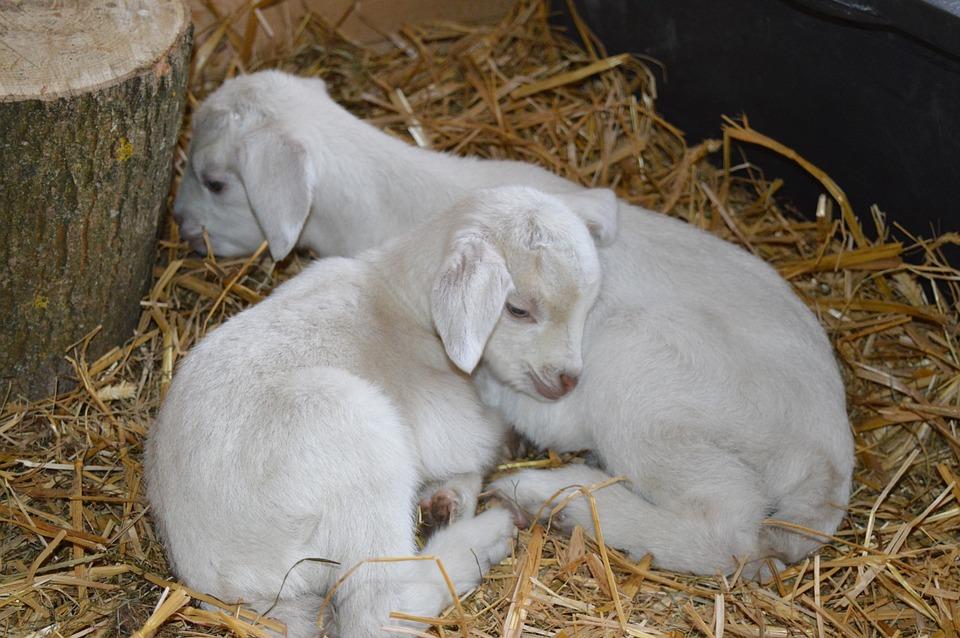 Goats, Kid, Kitz, Sleep