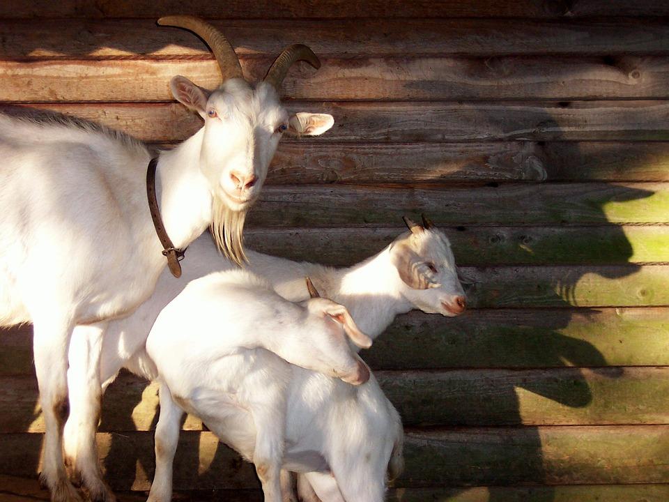 Goats, Billy Goat, Animals, Animal World, Livestock