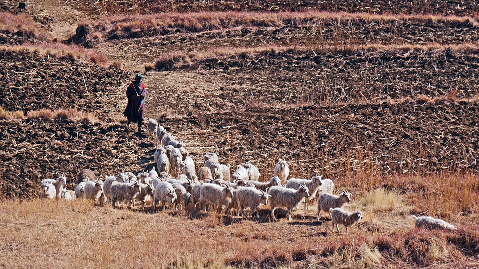 Lesotho, Goats, Agriculture, Fields, Management