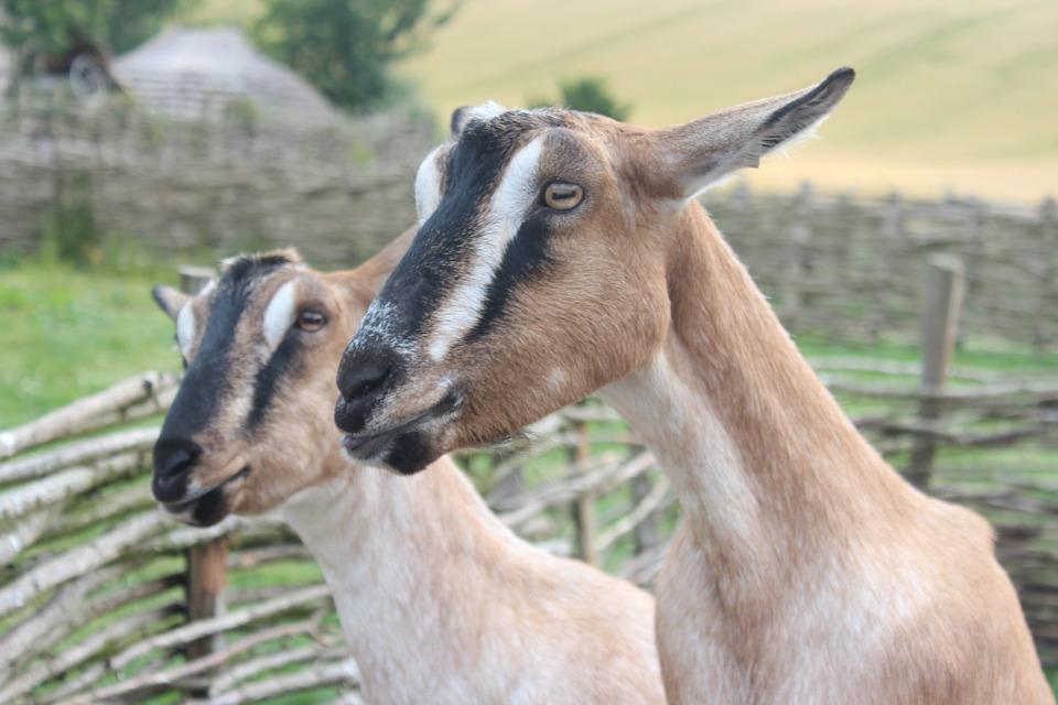 Goats, Nature, Uk, Rare Breed, Horns