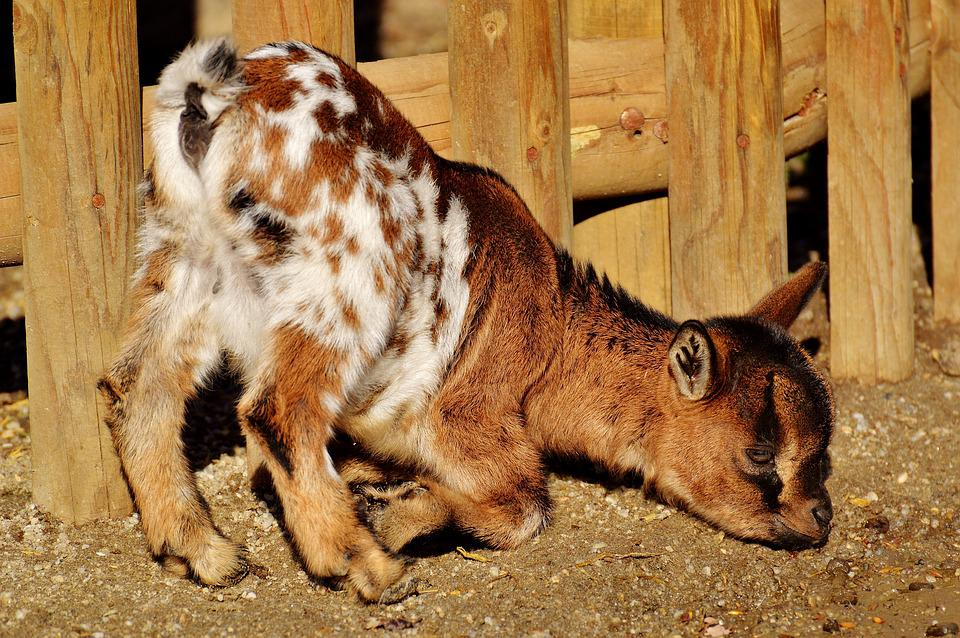 Goats, Wildpark Poing, Young Animals, Playful, Romp