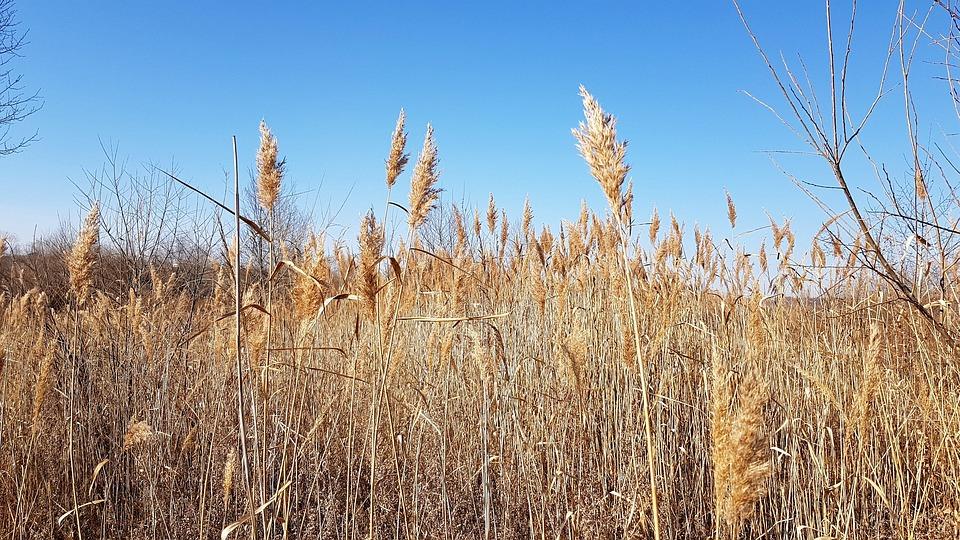 Nature, Autumn, Dry, Grass, Gold, Season, Leaves