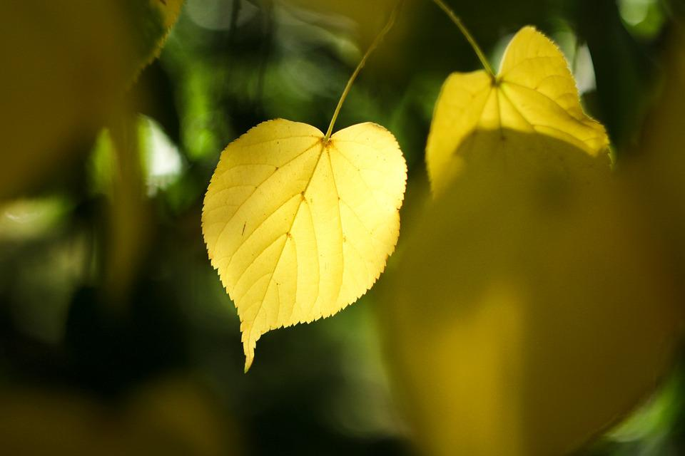 Gold, The Leaves, Natural, Dawn, The Morning, Tree