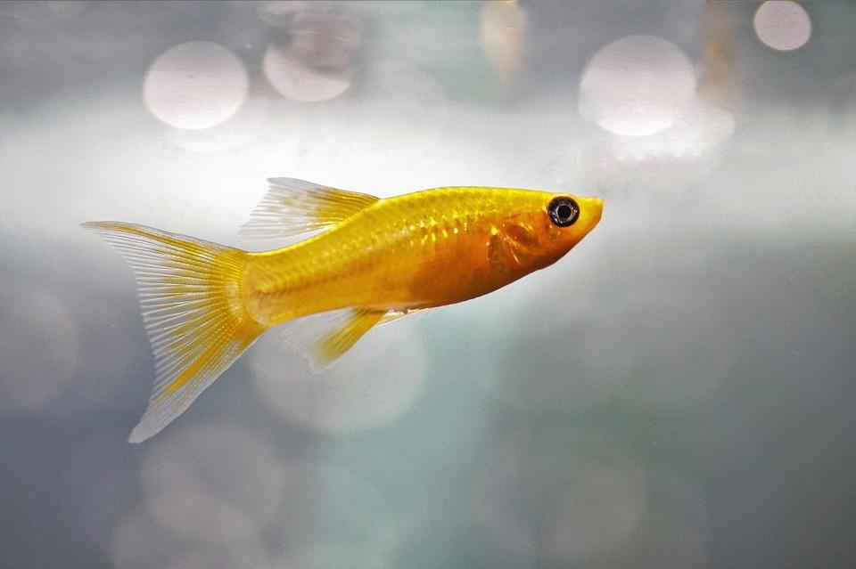 Fish, Aquarium, Freshwater, Fishy, Gold Molly, Gold