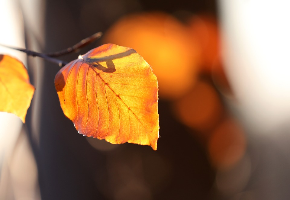 Autumn, Leaf, Golden, Beech Leaf, Gold, Autumn Colours