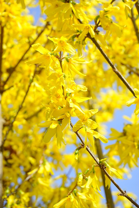 Forsythia, Branches, Yellow, Blossom, Bloom, Gold Lilac