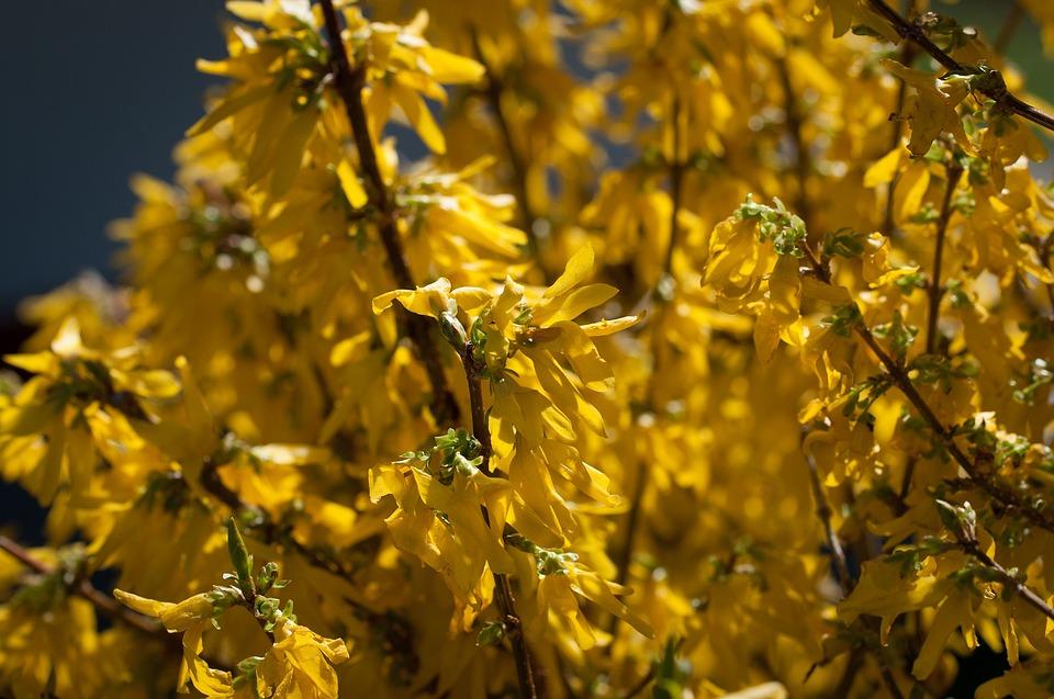 Forsythia, Gold Lilac, Golden Bells, Bush