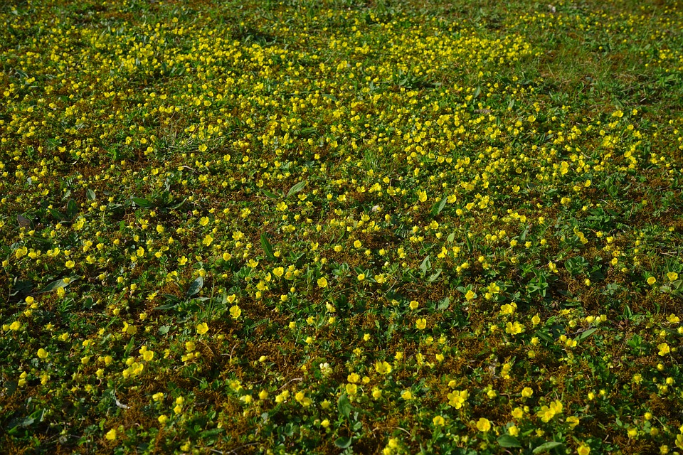 Gold Strawberry, Ground Cover, Flower, Blossom, Bloom