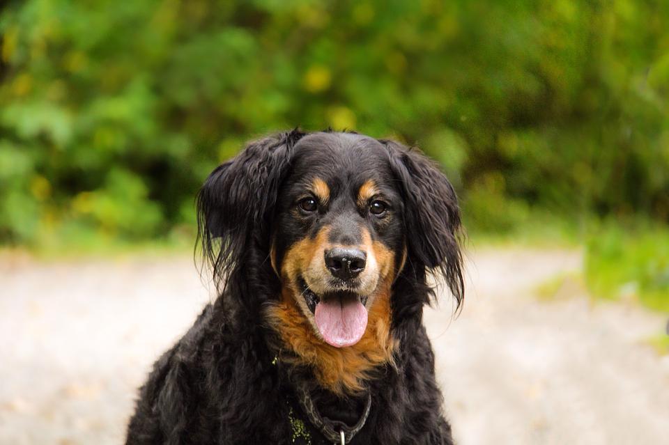 Dog, Animal, Cute, Pet, Nature, Black, Golden