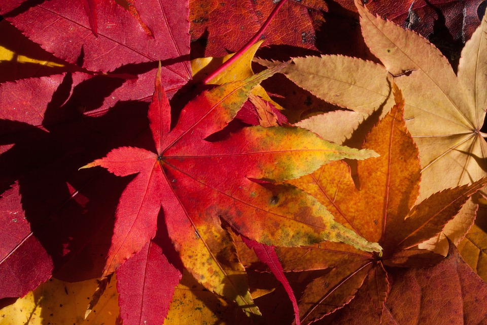 Autumn, Fall Foliage, Golden Autumn, Leaves