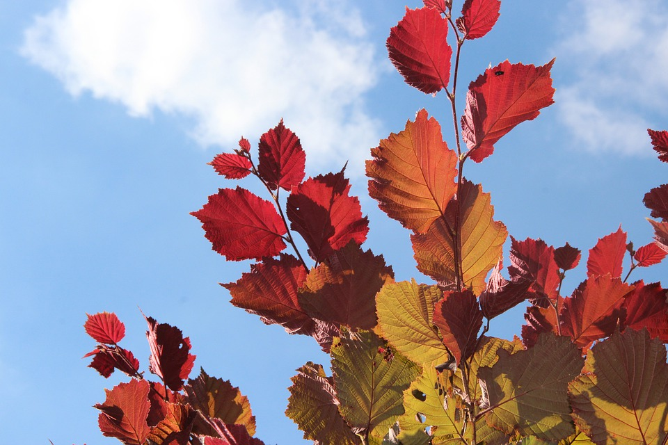 Autumn, Fall Foliage, Golden Autumn, Leaves, Red