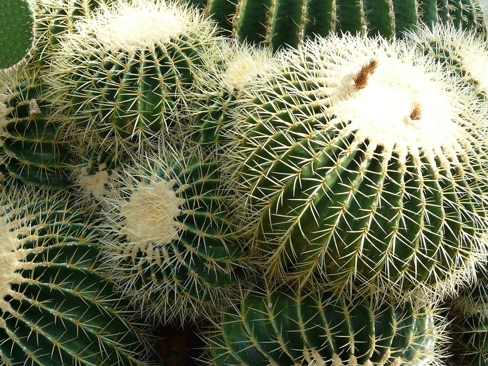 Golden Ball Cactus, Cactus, Cactus Greenhouse