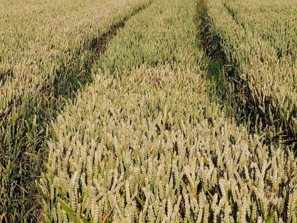 Cornfield, Field, Agriculture, Cereals, Grain, Golden