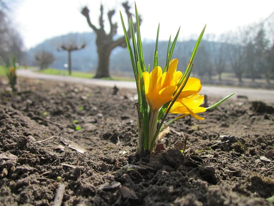 Crocus Chrysanthus, Snow Crocus, Golden Crocus