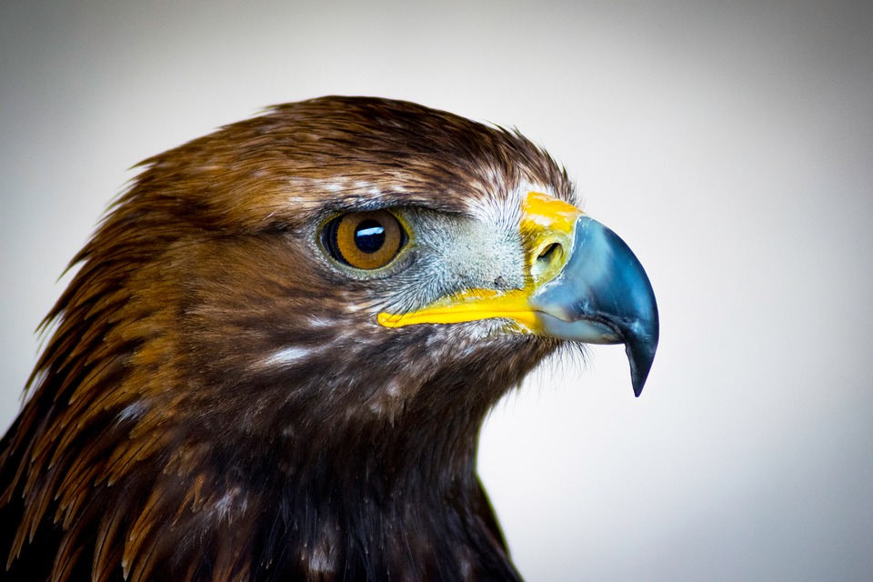 Golden Eagle, Bird Of Prey, Scotland, Eagle, Feathers