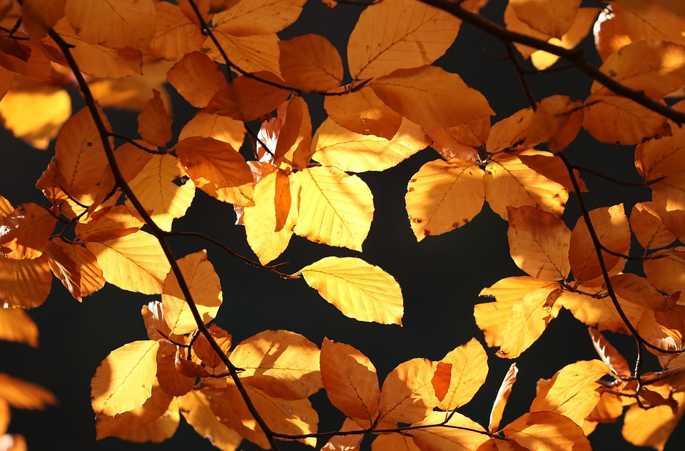 Autumn, Leaves, Golden, Fall Foliage, Fall Leaves, Gold