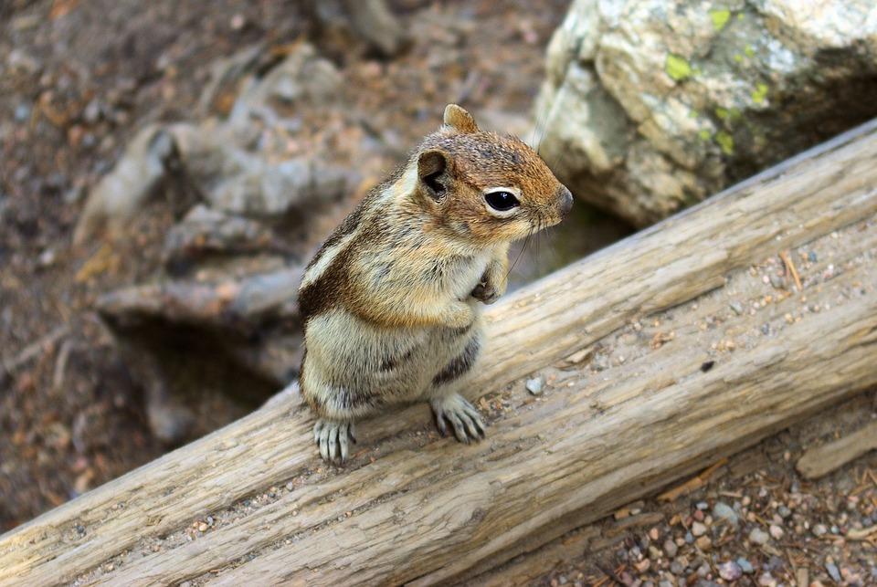 Ground Squirrel At Nymph Lake, Ground, Squirrel, Golden