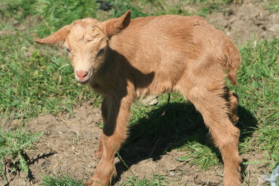 Goat, Golden Guernsey Goat, Newborn Goat Kid