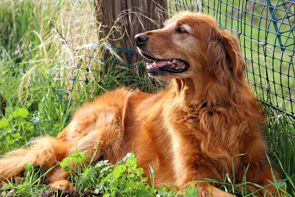 Golden Retriever, Happy, Dog, Golden, Retriever, Cute