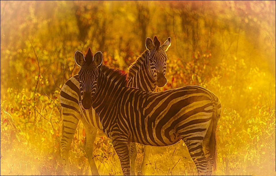 Zebras, Savanna, Golden Light, Mane, Burchell's