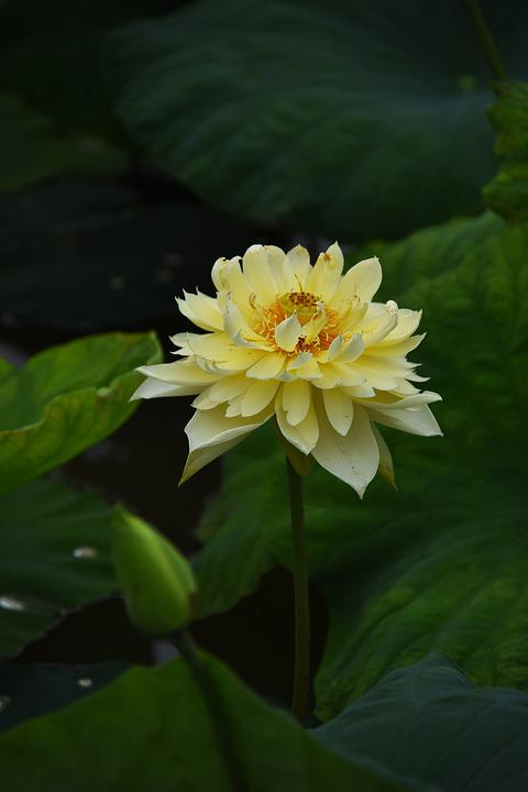 Golden Lotus, Dress, Outdoor, Blooming, Lotus