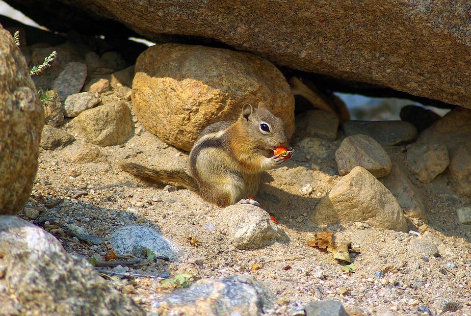 Golden Mantled Ground Squirrel, Ground, Squirrel