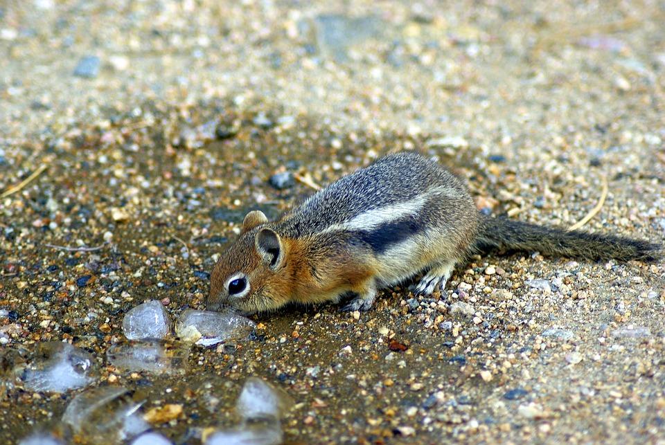Investigating Ice, Ground, Squirrel, Golden, Mantled
