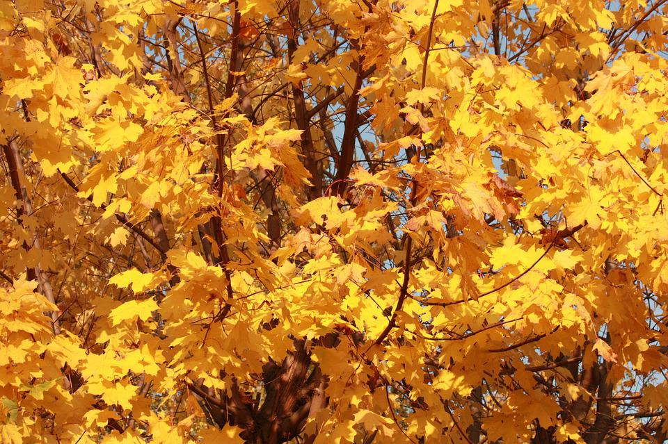 Golden Autumn, Golden Maple, Listopad