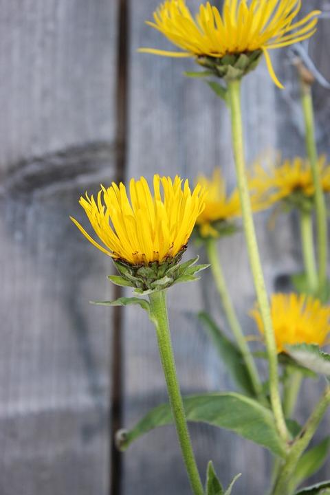 Golden Mustache, Flowers, Yellow