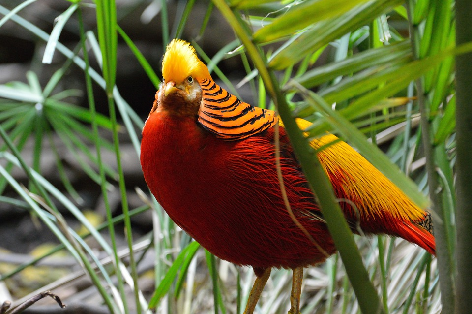 Golden Pheasant, Exotic, Bird, Fly, Wings, Feather
