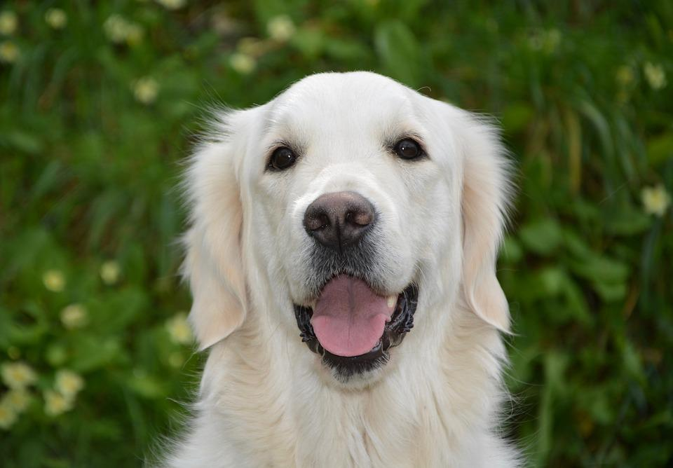 Dog, Bitch Mollie, Dog Portrait, Golden Retriever, Cute