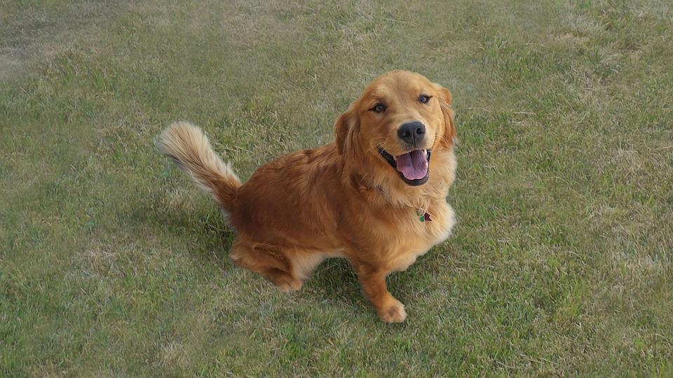 Golden Retriever, Dog, Happy, Animal, Pet, Canine