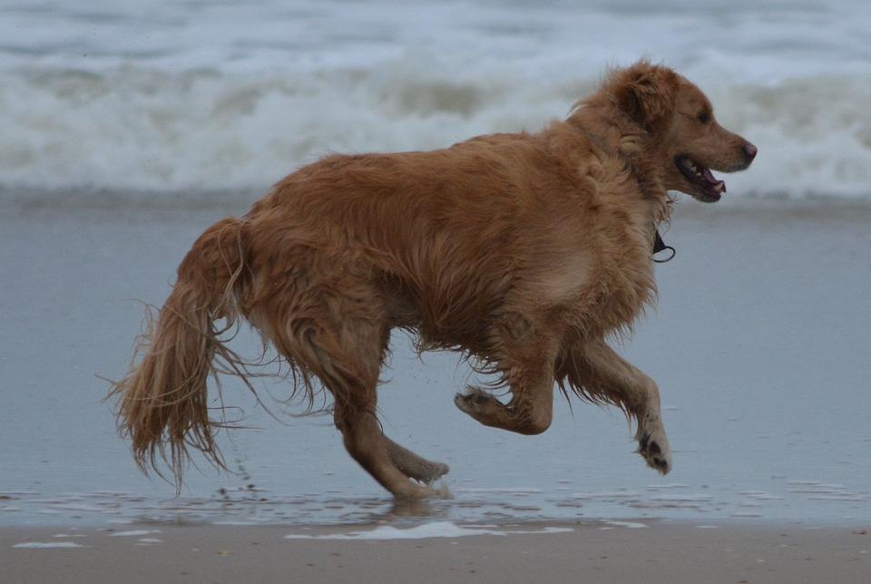 Dog, Sea, Animal, Beach, Golden Retriever