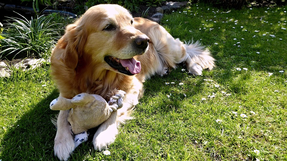 Dog, Golden Retriever, Garden, Pet, Concerns