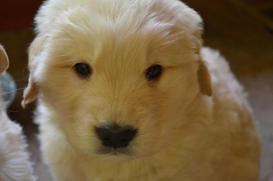 Golden Retriever Puppy, Golden Retriever, Puppy