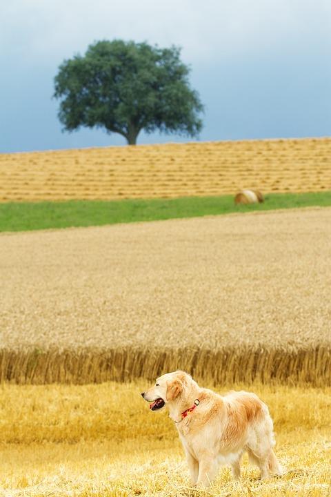 Dog, Golden Retriever, Nature, Landscape, Hundeportrait