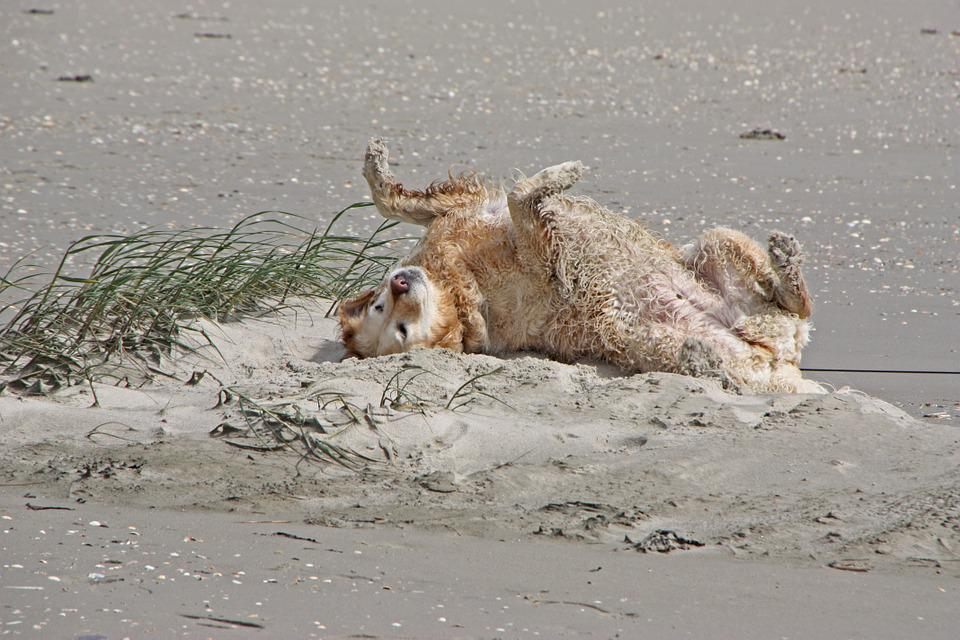 North Sea, Dog, Golden Retriever, Play