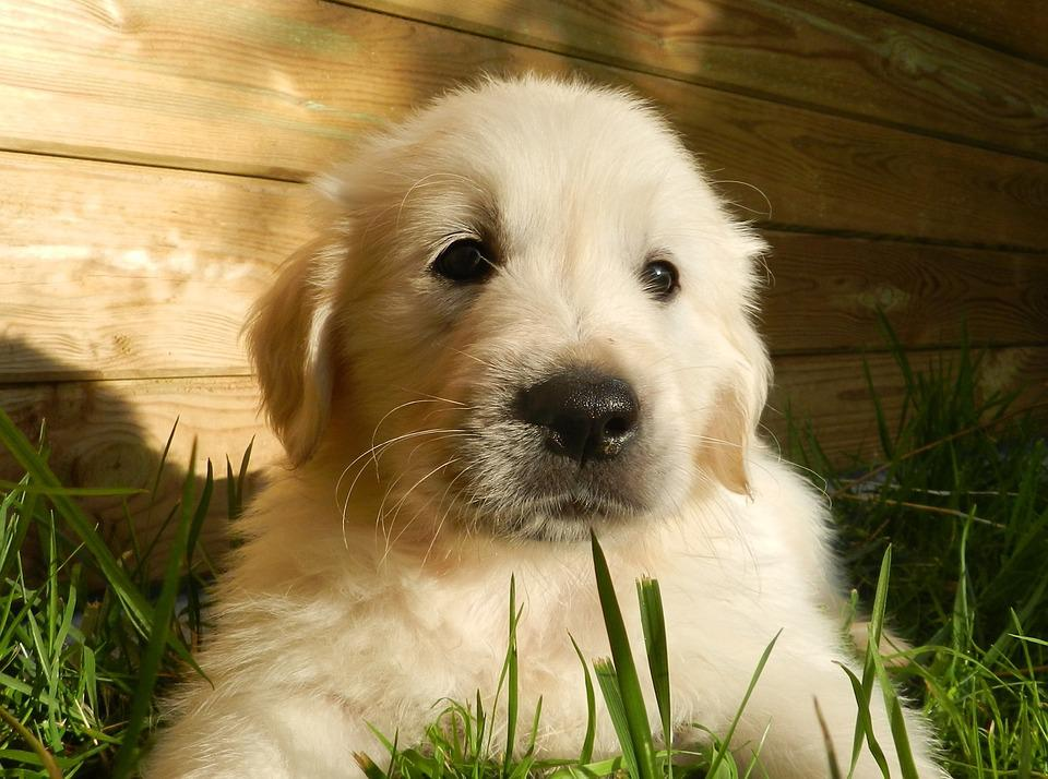 Puppy, Golden Retriever, Animal, Dog, Cute