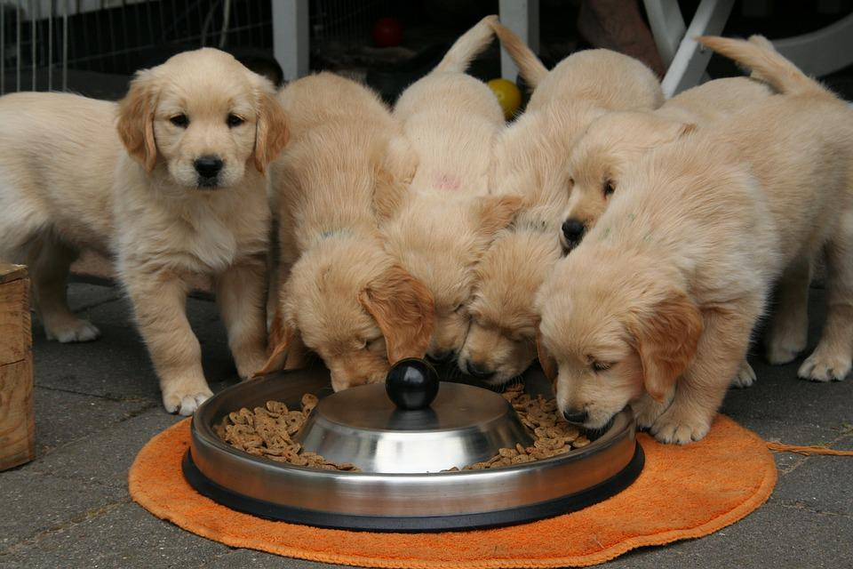 Golden Retriever Puppy, Dog Puppy While It Is Eating
