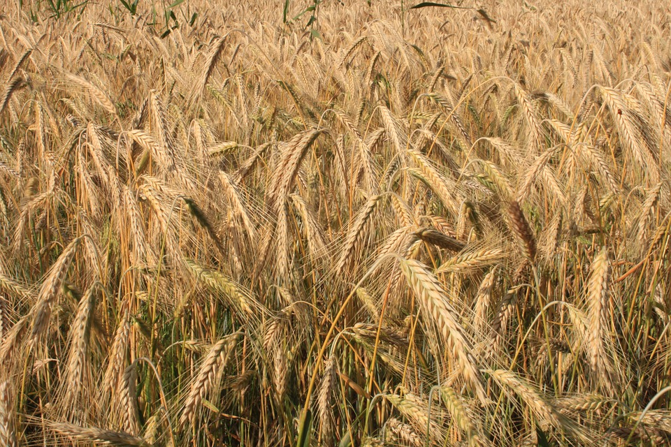 Agriculture, Cereals, Curved, Ears, Filed, Golden, Ripe