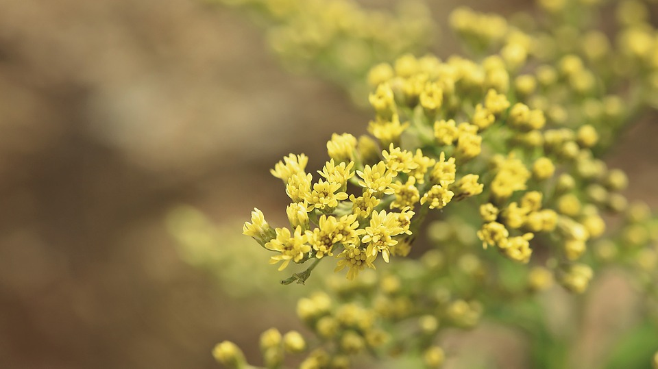 Golden Rod, Plant, Yellow, Ornamental Plant, Flowers