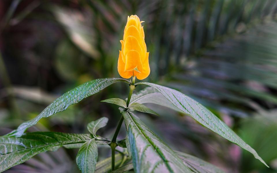 Golden Shrimp Plant, Shrimp Plant, Bright, Orange