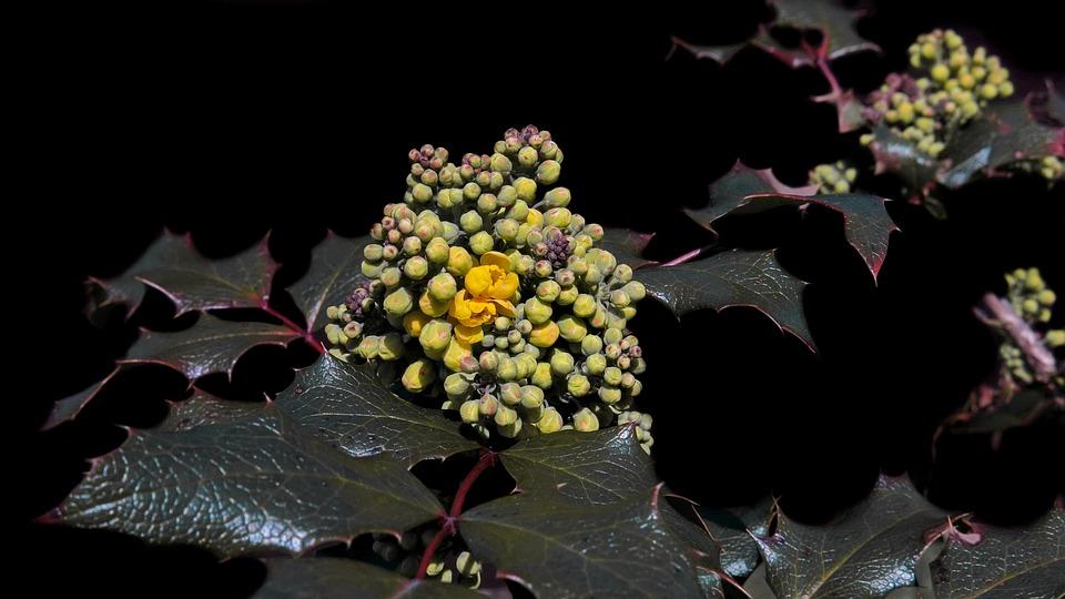 Mahogany, Mahonia Aquifolium, Golden Yellow, Blossom