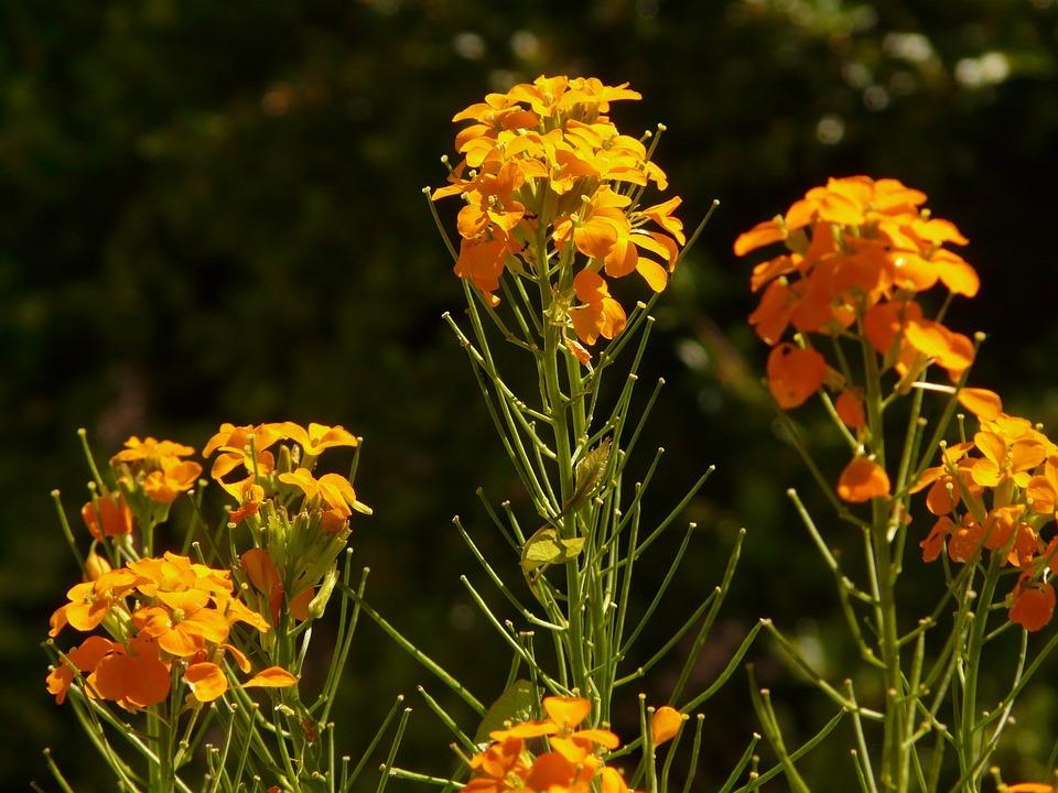 Gold Lacquer, Ornamental Plant, Yellow Orange, Golden