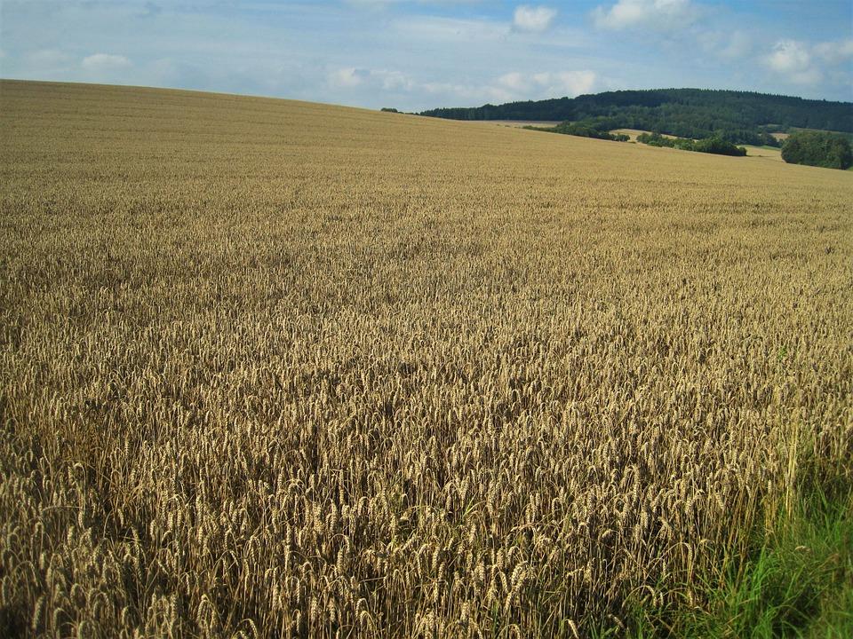 Golden Yellow Wheat Field, Late Summer, Cornfield