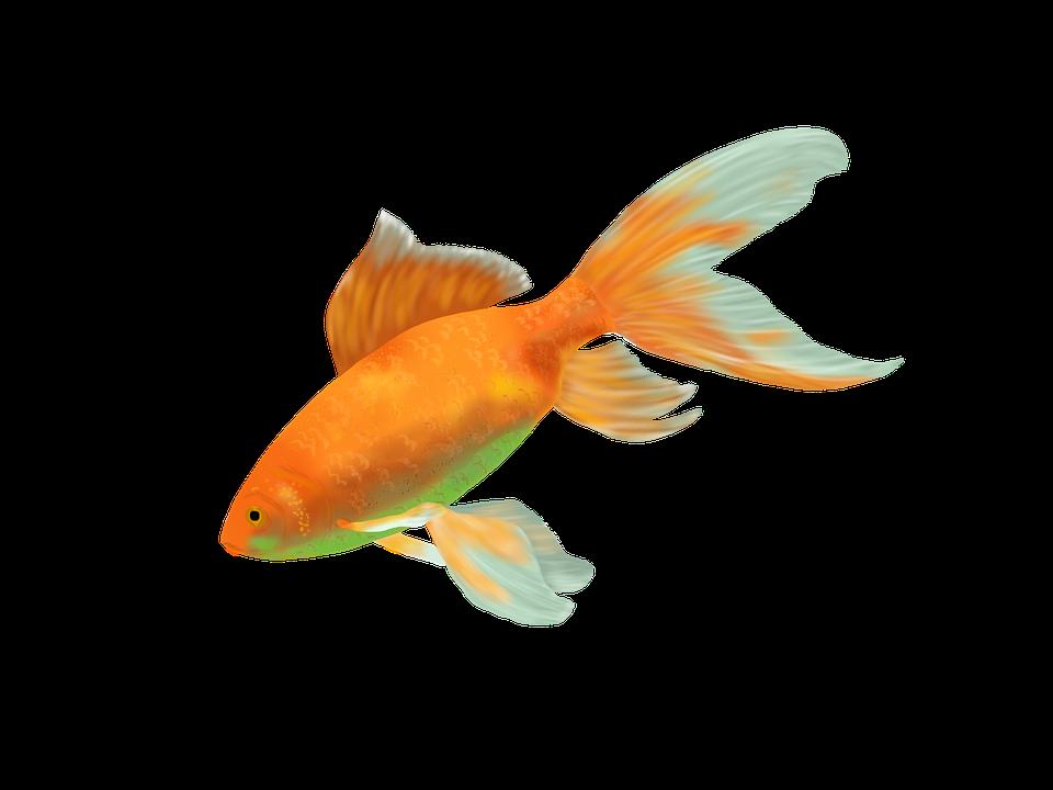 Goldfish, Fish, Gold, Water, Cichlid, Animal, Fauna