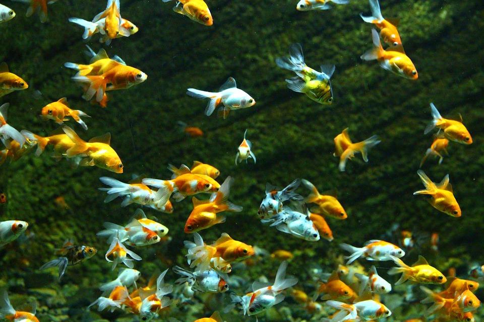 Fish, Goldfish, Aquarium, Water, Swim, Underwater