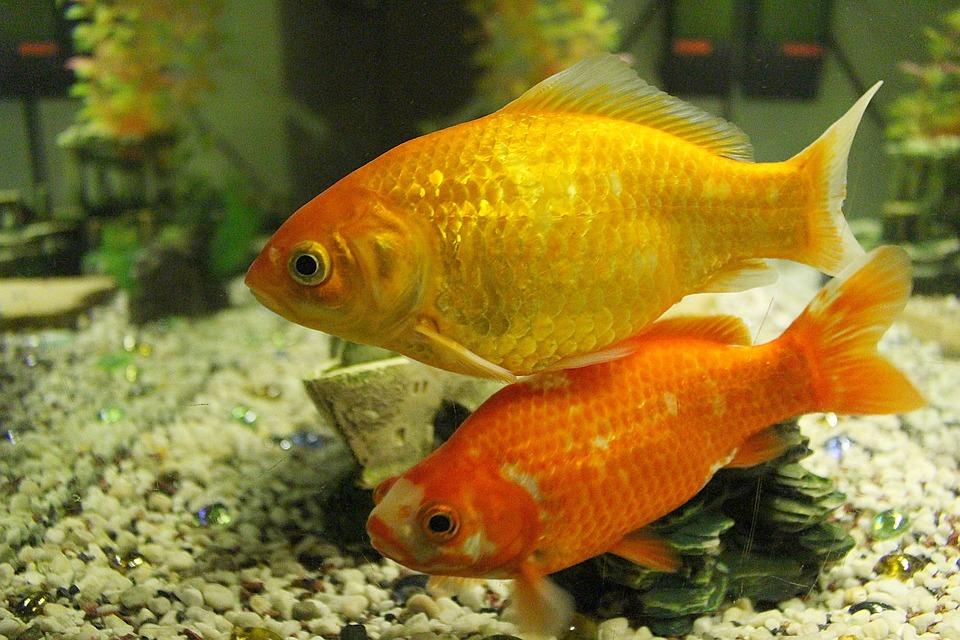 Goldfish, Fish, Swim, Freshwater Fish