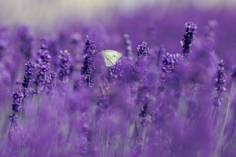 Lavender, Gonepteryx Rhamni, Butterfly, Summer, Nature