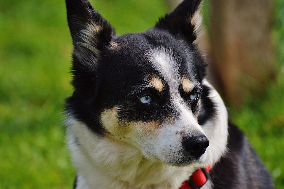 Husky, Dog, Animal, Pet, Black, White, Good Aiderbichl